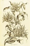 Imperial Gloriosa - Gloriosa superba botanical print by John Hill