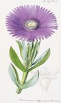 Mesembryanthemum acinaciforme. Scimitar-Leaved Fig-Marigold botanical print by Walter Hood Fitch