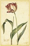 Fine Art Print of Tulip by Georg Dionysius Ehret
