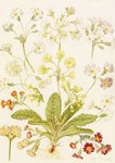 Fine Art Print of Polyanthus and Primroses by Maria Sibylla Merian