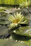 Nymphaea eldorado. Waterlily botanical print by Andrew McRobb