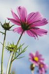 Fine Art Print of Cosmos bipinnatus. Mexican Aster by Andrew McRobb