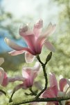 Fine Art Print of Magnolia sprengeri. var. diva by Andrew McRobb