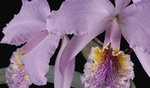 Fine Art Print of Cattleya labiata var. mossiae by Andrew McRobb