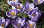 Fine Art Print of Crocus Carpet by Andrew McRobb