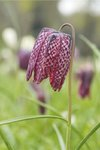 Fine Art Print of Fritillaria. Snakes Head Fritillary by Andrew McRobb