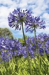 Fine Art Print of Agapanthus nutans by Andrew McRobb