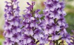 Fine Art Print of Dactylorhiza foliosa by Andrew McRobb