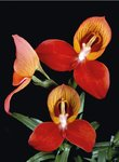 Fine Art Print of Disa uniflora by Andrew McRobb