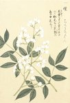 Fine Art Print of Honzo Zufu [White Berries] by Kan'en Iwasaki