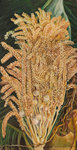 156. Inflorescence and ripe Nuts of the Cocoanut Palm. botanical print by Marianne North