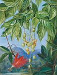 223. Foliage and Fruit of the Wampee and American Passion Flower. botanical print by Marianne North