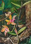 96. Orchid and Humming Birds, Brazil. Poster Art Print by Marianne North