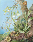 111. Jamaica Orchids growing on a branch of the Calabash tree. Poster Art Print by Marianne North