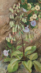 "182. Study of the ""Plant of Life. botanical print by Marianne North"