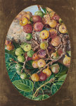 306. Foliage and Fruit of Fig Tree held Sacred by the Hindoos. botanical print by Marianne North