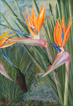 365. Strelitzia and Sugar Birds, South Africa.
