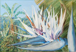 369. Strelitzia augusta at St. John's Kaffraria. botanical print by Marianne North