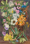 375. Flowers of St. John's in Pondo Basket. botanical print by Marianne North
