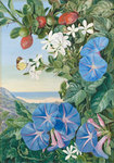 378. Amatungula in Flower and Fruit and Blue Ipomoea, South Africa. Poster Art Print by Marianne North