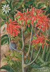 387. Aloe and Passionflower, South Africa. Poster Art Print by Marianne North