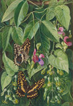 392. Two climbing plants of St. John's, and Butterflies. botanical print by Marianne North