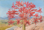 399. Brunsvigia multiflora, near Queenstown, South Africa. Poster Art Print by Marianne North
