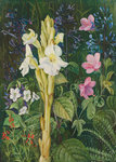 402. Cape Colours. botanical print by Marianne North