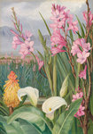 417. Beauties of the Swamps at Tulbagh, South Africa. Poster Art Print by Marianne North