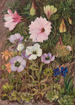 422. South African Sundews and other Flowers. Poster Art Print by Marianne North