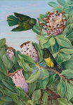 435. Protea and Golden-breasted Cuckoo, of South Africa. botanical print by Marianne North