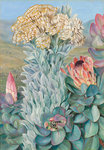 437. Giant Everlasting and Protea, on the Hills near Port Elizabeth. botanical print by Marianne North