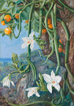 497. Native Vanilla hanging from the Wild Orange,. Praslin, Seychelles. botanical print by Marianne North