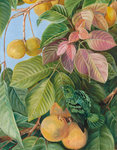 537. Fruit of Sandoricum and Green Gaper, Borneo. botanical print by Marianne North