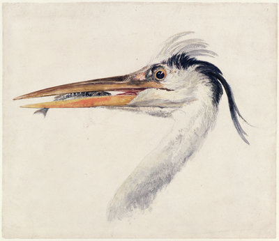 Heron, from The Farnley Book of Birds, c.1816 by Joseph Mallord William Turner - print