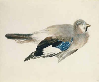 Jay, from The Farnley Book of Birds, c.1816 by Joseph Mallord William Turner - print