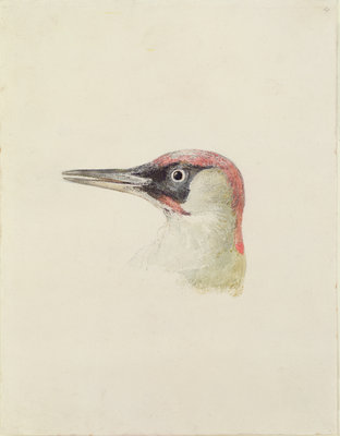 Woodpecker, from The Farnley Book of Birds, c.1816 by Joseph Mallord William Turner - print