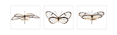 Pinned Butterfly by Sara Porter - print