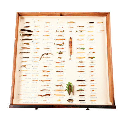 Drawer Of Caterpillars by Sara Porter - print
