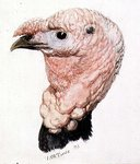 Turkey, from The Farnley Book of Birds, c. 1816