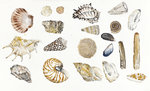 Fine Art Print of Shells by Elizabeth Blackadder