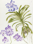 Fine Art Print of Orchid, Blue Vanda 1994 by Elizabeth Blackadder