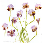 Fine Art Print of Iris Oncocyclus 1996 by Elizabeth Blackadder