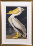 American white pelican by John James Audubon - print