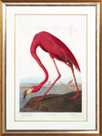 American flamingo by John James Audubon - print