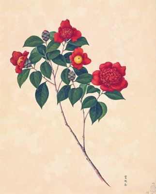 Red Camellia by John Reeves - print