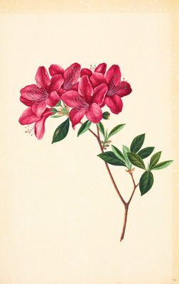 Rhododendron by John Reeves - print