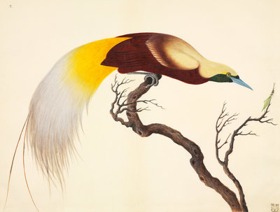 Greater Bird of Paradise by John Reeves - print