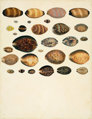 Fine Art Print of Molluscs by John Reeves