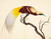 Fine Art Print of Greater Bird of Paradise by John Reeves